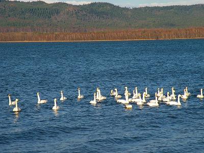 おだやかな白鳥の湖