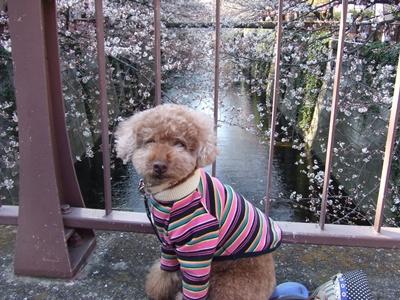桜とkuma