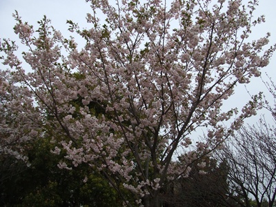 西郷山公園の八重桜
