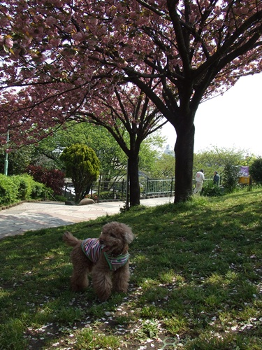 八重桜とkuma