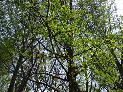 新緑のイチョウの森