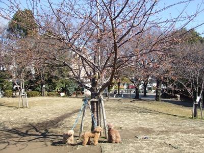 西郷山公園の河津桜の前で3ワン