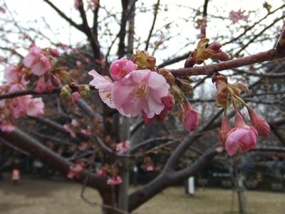 西郷山公園の河津桜