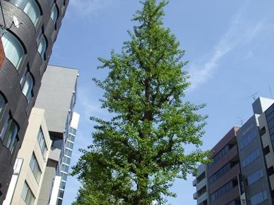 駒沢通りの銀杏