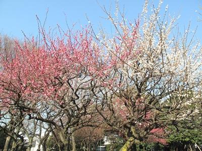 西郷山公園の梅