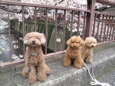 目黒川沿いの桜の前で恒例の写真撮影