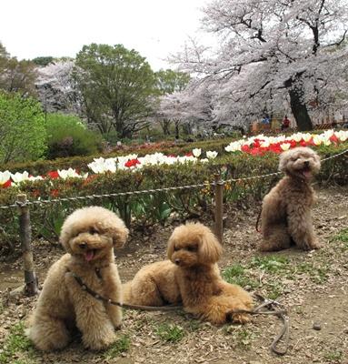 代々木公園お花見散歩 チューリップの前でも