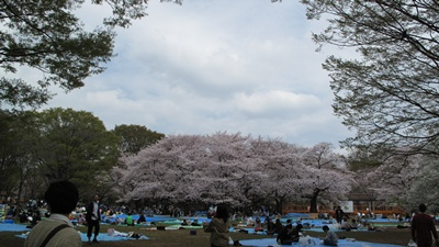 代々木公園お花見散歩  すごい人