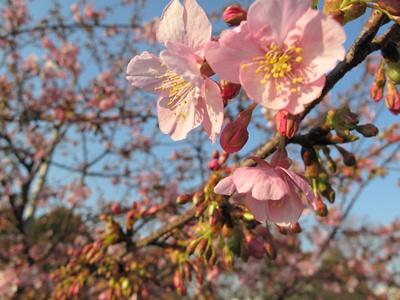 西郷山公園の河津桜アップ