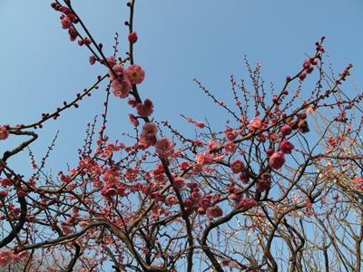 西郷山公園の紅梅