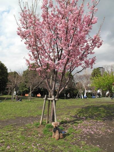西郷山公園の光陽桜