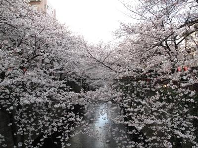 4/1 目黒川の桜
