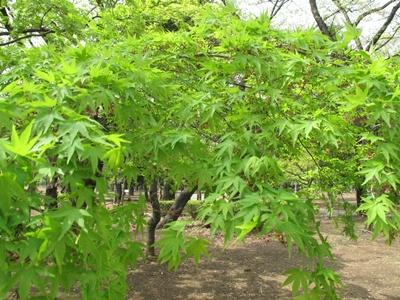 紅葉の新緑