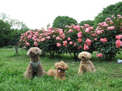 薔薇園の前で