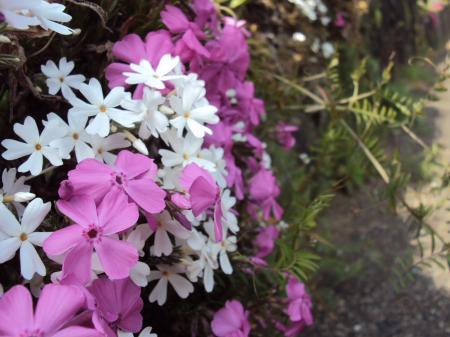 高千穂 花 4
