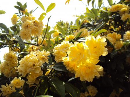 木の花 黄色