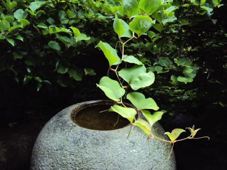 手水鉢サルトリイバラ