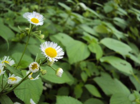 あいそめの花