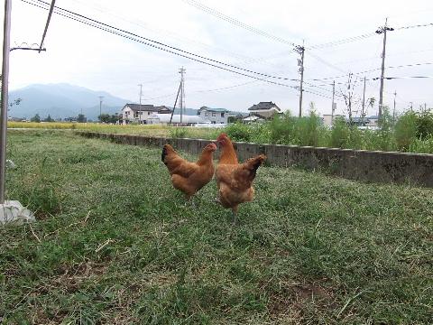 niwatori0920-1.jpg