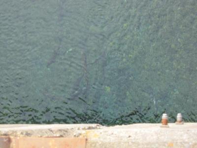 大槌川を上る鮭