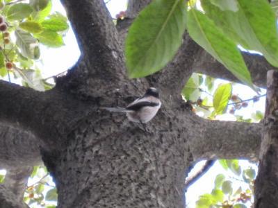 マメガキの木に小鳥