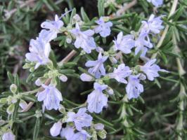 薄紫の小花