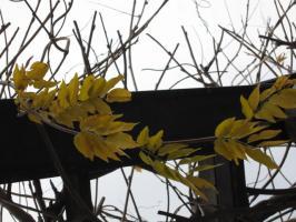 藤棚の黄葉