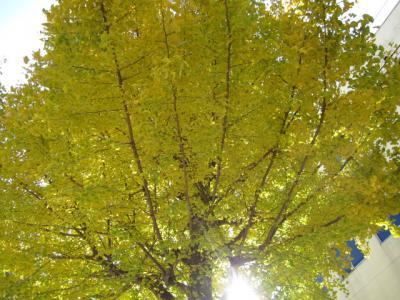 緑ががっている、黄葉の銀杏