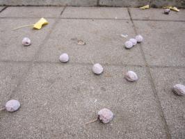 歩道に落ちた銀杏の実