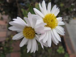 植栽の片隅、白菊かな