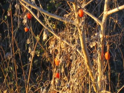 カラスウリ赤く、寒い朝