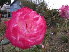 二宮町で見かけたバラ