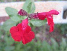 赤い花赤い花、咲いてゆれるだろ