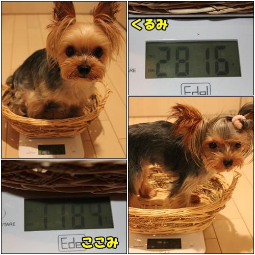 クルココ体重