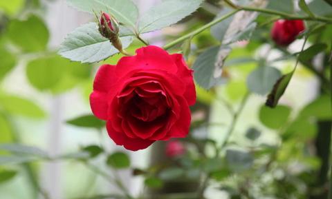 赤ツルバラ