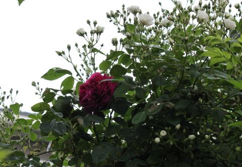群星とバラ
