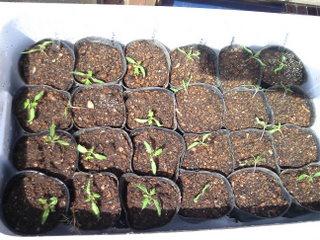 トマト植え替え