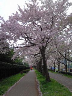 遊歩道の桜4