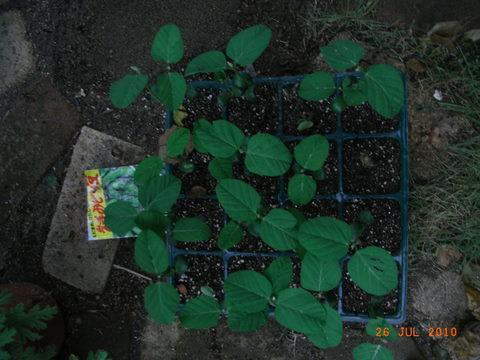 みどり豆の苗