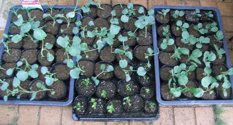ブロッコリーとキャベツの苗