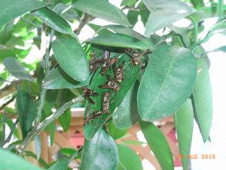 蜂のいるイヨカンの葉