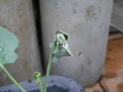 芯食いムシにやられた苗