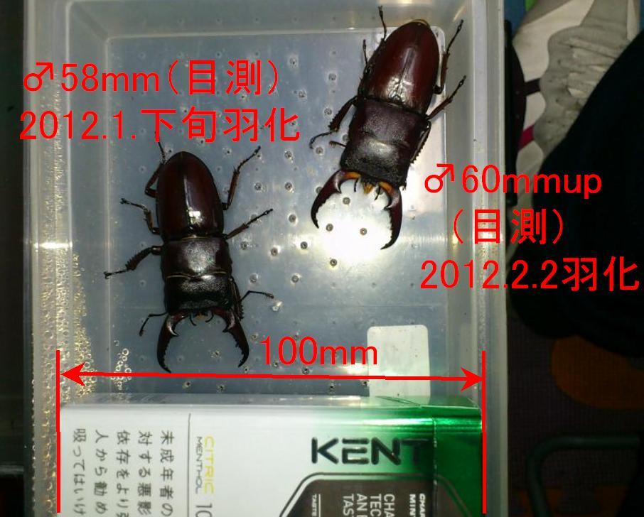 2012江田島産ヒラタ羽化