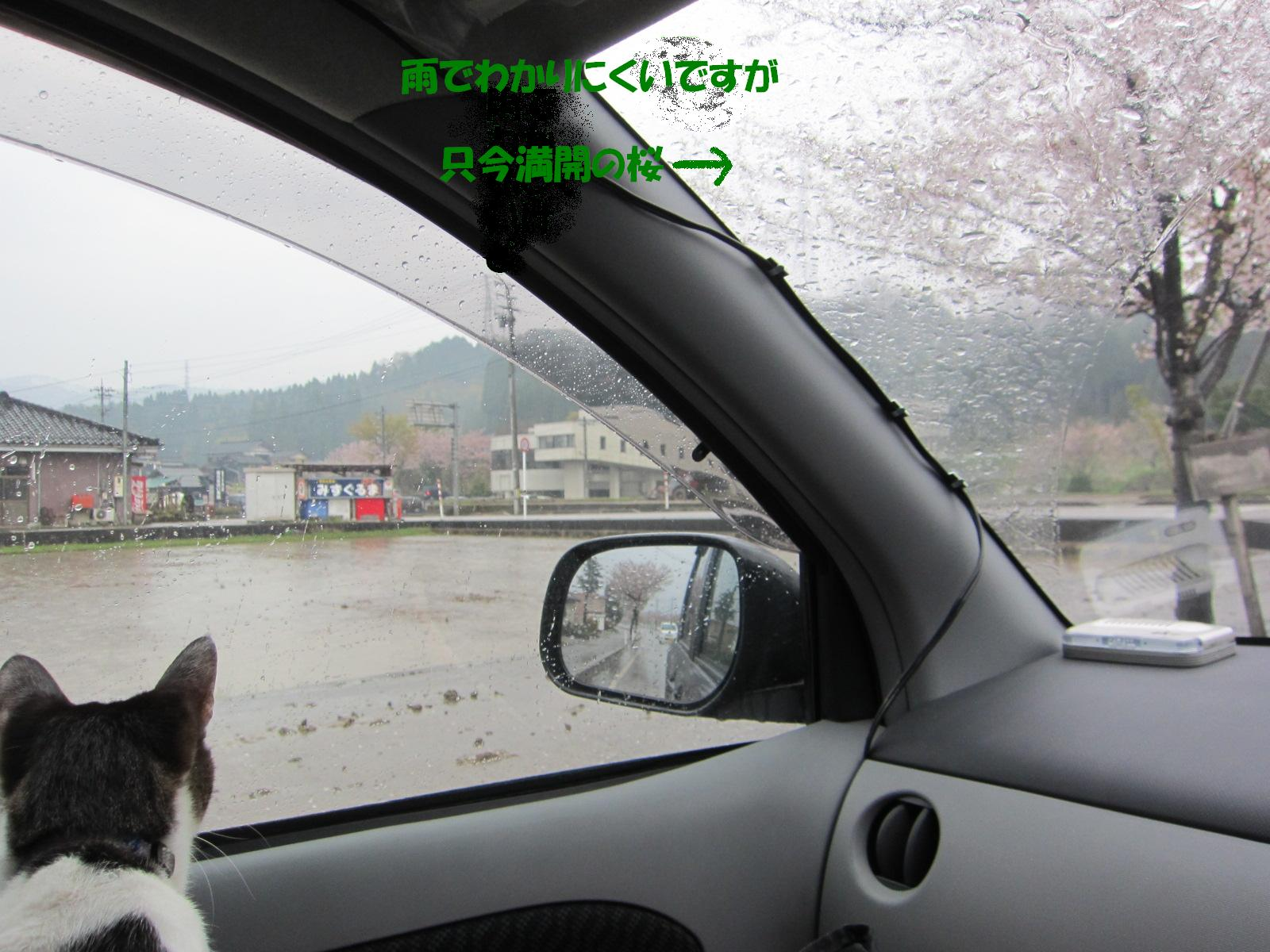 IMG_2721雨の桜