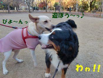 マロンちゃんお耳が飛んでる~!?