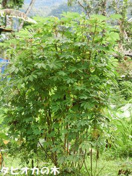 タピオカの木。