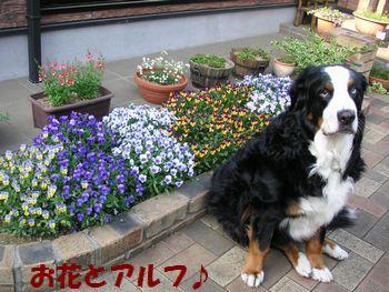 お花とアルフ♪