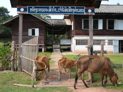 郡事務所の牛