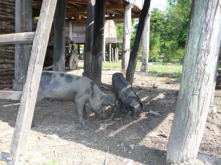 床下の2匹の豚