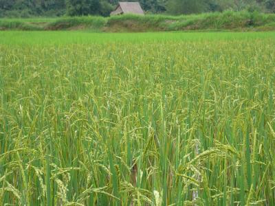 乾季作米収穫前